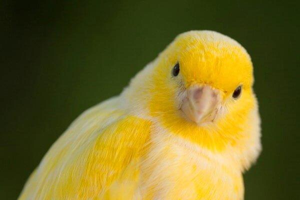 canto de los canarios pájaros