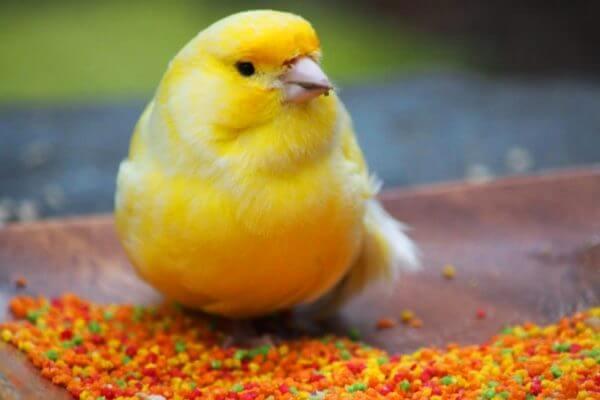cómo se alimentan los canarios