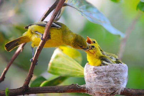 epoca celo canarios