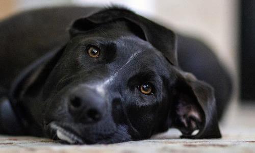 maneras de saber si una perra está preñada