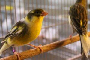 canarios doméstico