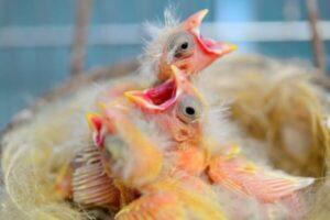 polluelos de canarios