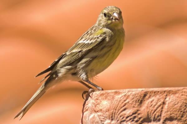 hábitat de los canarios pájaros