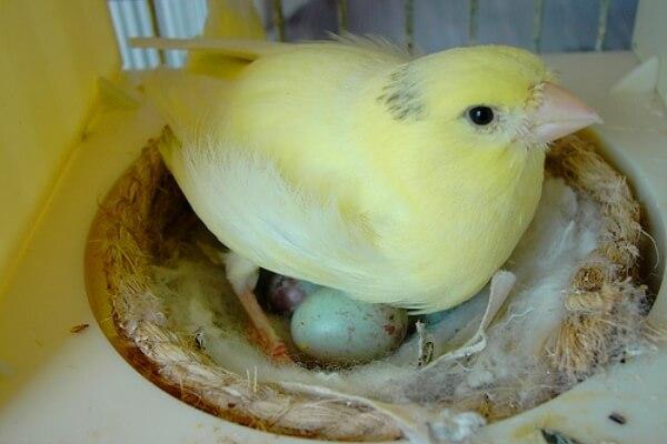 cuanto tardan en nacer los canarios