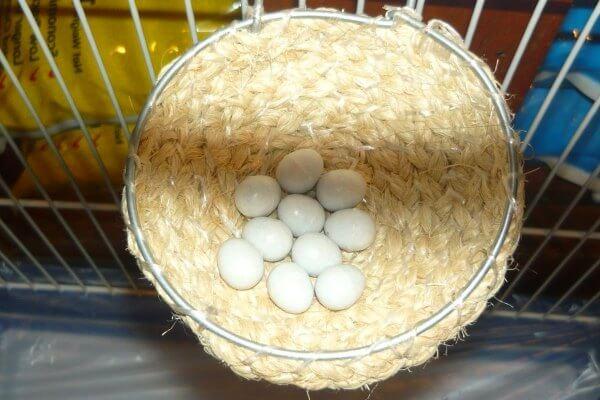 nido de canario