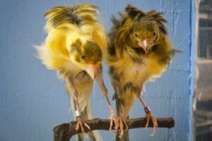 mis canarios no crian