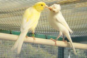 cómo se reproducen los canarios