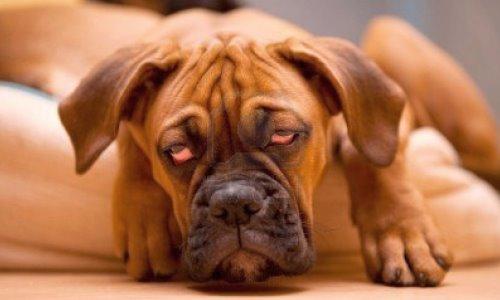perra en estado señales