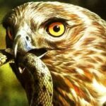 qué comen las águilas