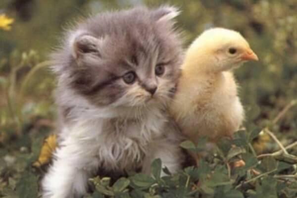 comportamiento canarios con otras mascotas