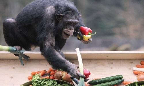 Alimentación del chimpancé