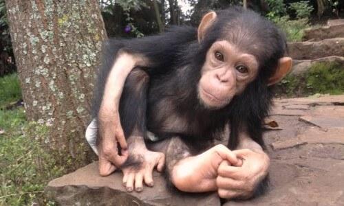 cría de chimpancé - Cimpancé bebé