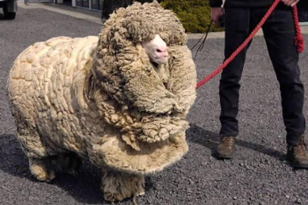 Cómo se esquila una oveja