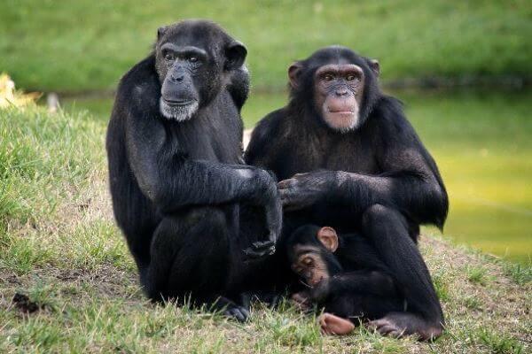 cómo es el chimpancé