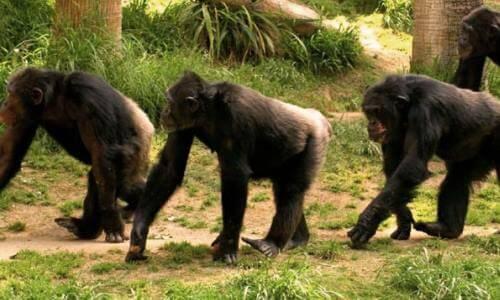 El chimpancé es omnívoro - Chimpancés buscando comida