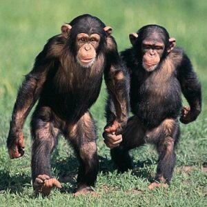 Chimpancé características - Chimpancés caminando de pie