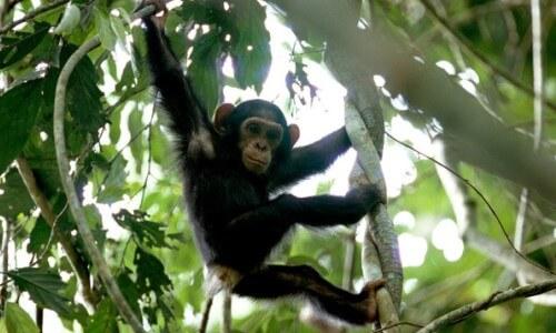 habitat natural chimpancé - Chimpancé subido a un árbol