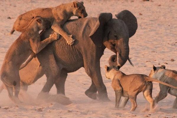 Cómo cazan los leones