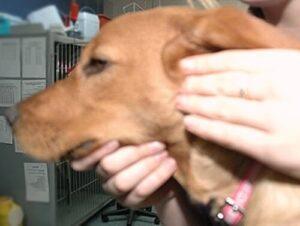 higiene de los oídos de los perros