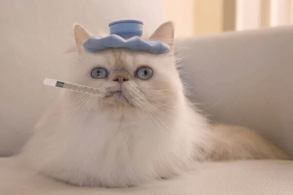cómo saber si mi gato tiene fiebre