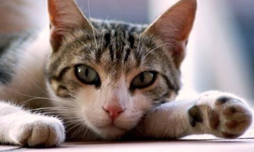 gato triste por fiebre