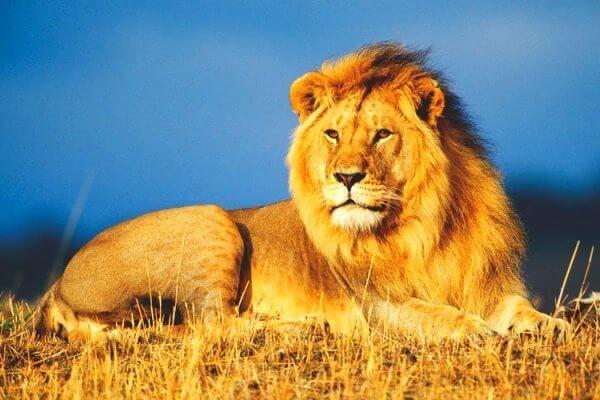 ¿Cómo cazan las leonas a sus presas?