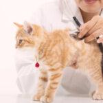 Síntomas y causas de la fiebre en gatos