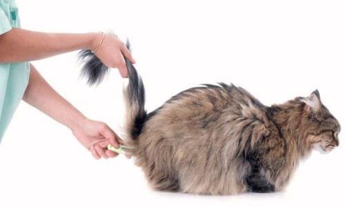 décimas de fiebre en un gato