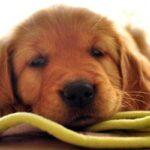 Cómo detectar la leishmaniosis en un perro