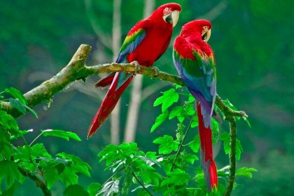 hábitat guacamayo