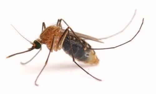 mosquito parasito leishmania