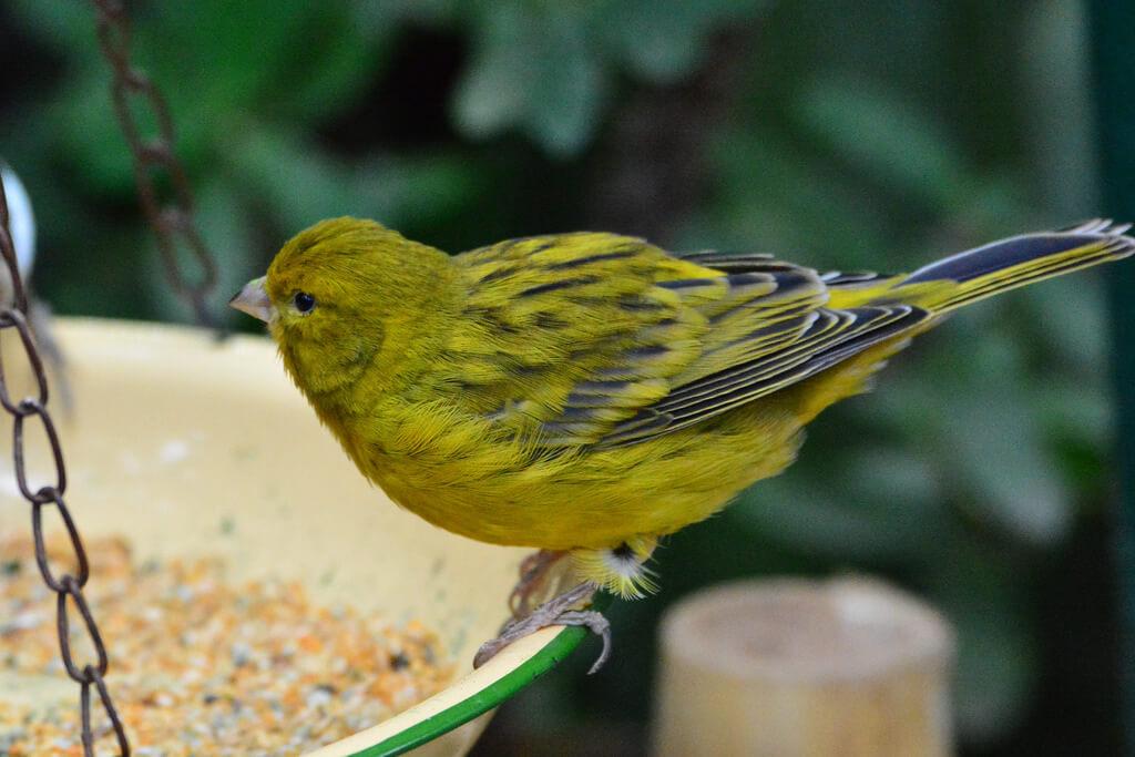 alimentación canario silvestre