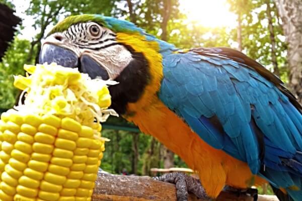 alimentación del guacamayo