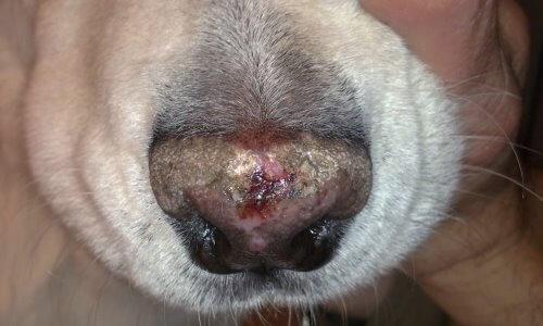 daños en perro por leishmaniosis
