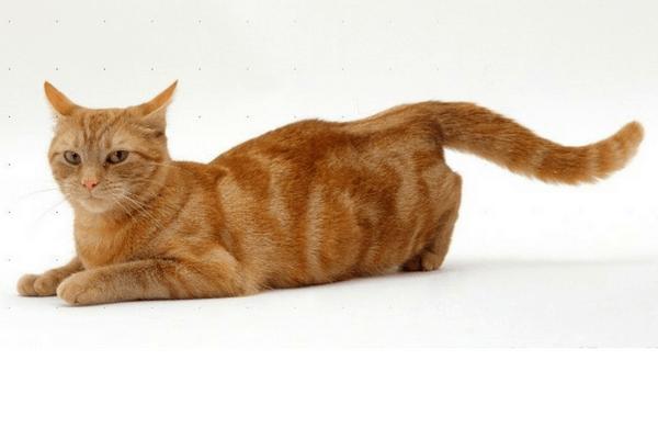 Cómo saber si mi gata está en celo