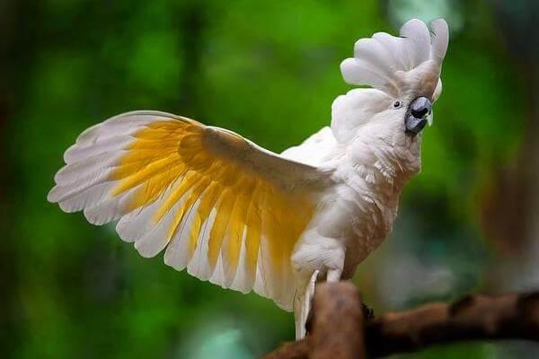 cacatúa amarilla y blanca