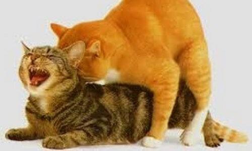 como es el celo en las gatas