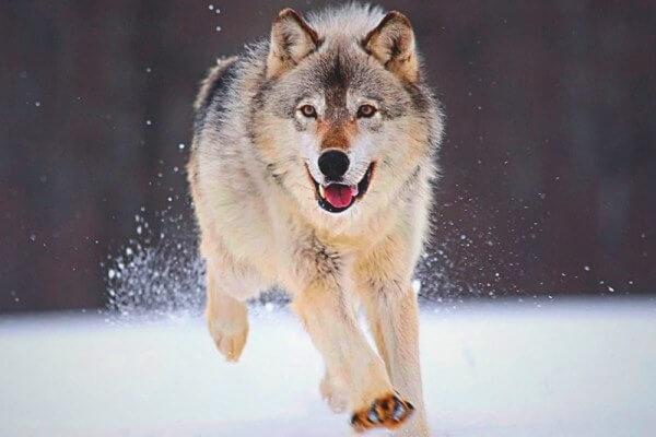 cuánto corre un lobo