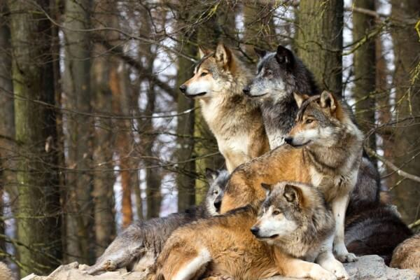 de qué color es el lobo