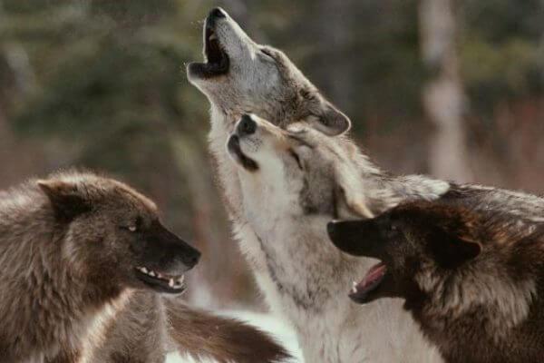 ¿Qué es un lobo alfa y omega?