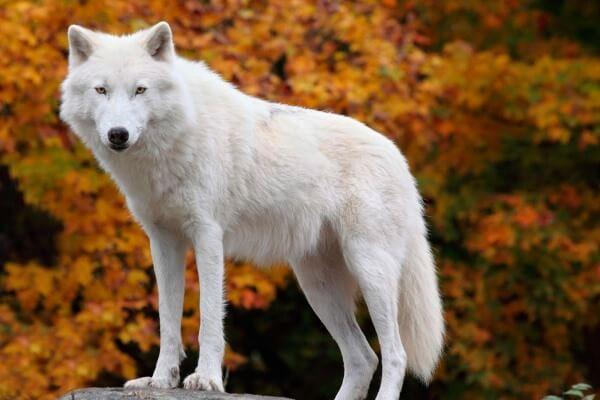 cuál es el hábitat del lobo