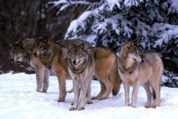 Los lobos se asocian entre sí formando manadas