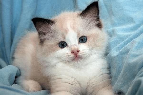 Raza gato Siamés origen