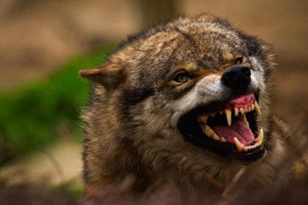cómo cazan las manadas de lobos