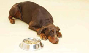 tratamiento anorexia canina