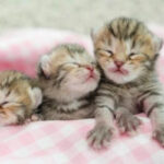 Cómo cuidar a un gato recién nacido