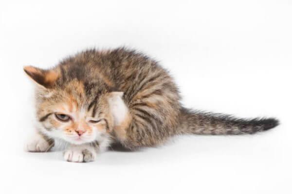 cómo eliminar parásitos gatos