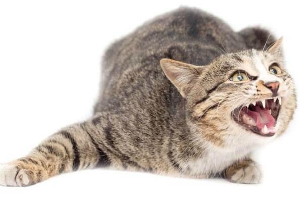Cómo saber si mi gato tiene rabia