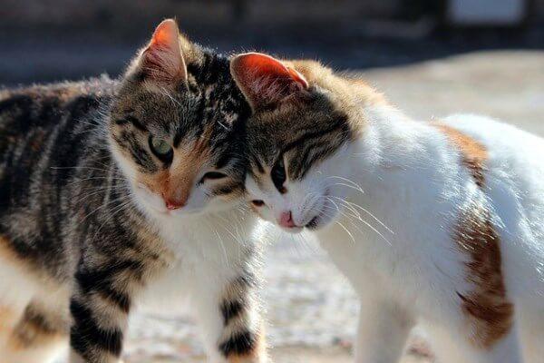 contagio sarna en felinos