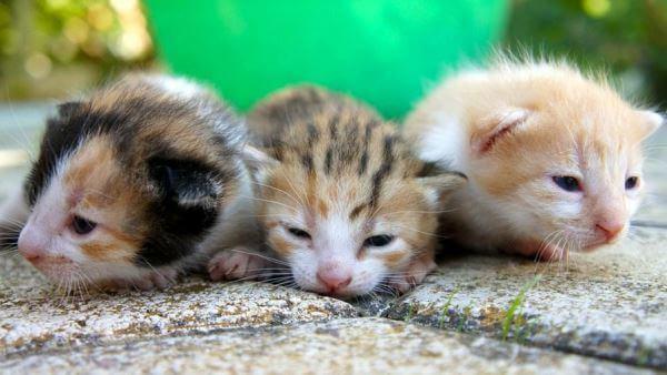 cuando abren los ojos los gatos por primera vez